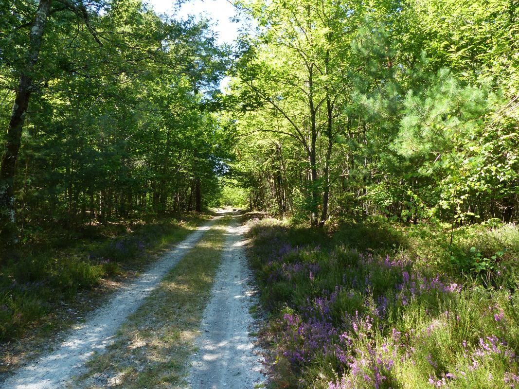 Bruyères au bord du chemin des Réaux à Granvau