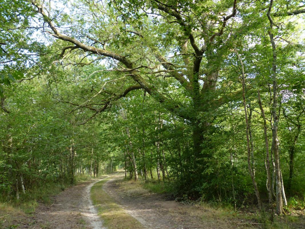 Chêne au bord du chemin de Doisne